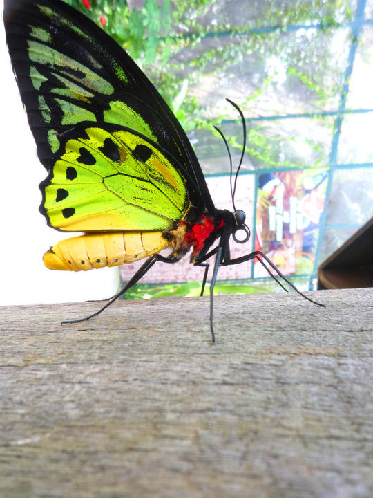 Bright Green Butterfly